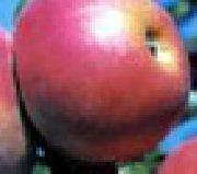 Сорт яблок американского происхождения на букву у