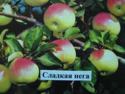 Сорт яблоня сладкая нега описание фото