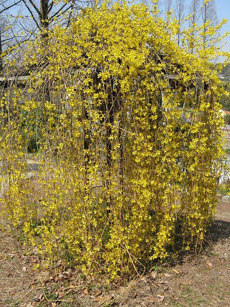 Садовые цветы форзиция