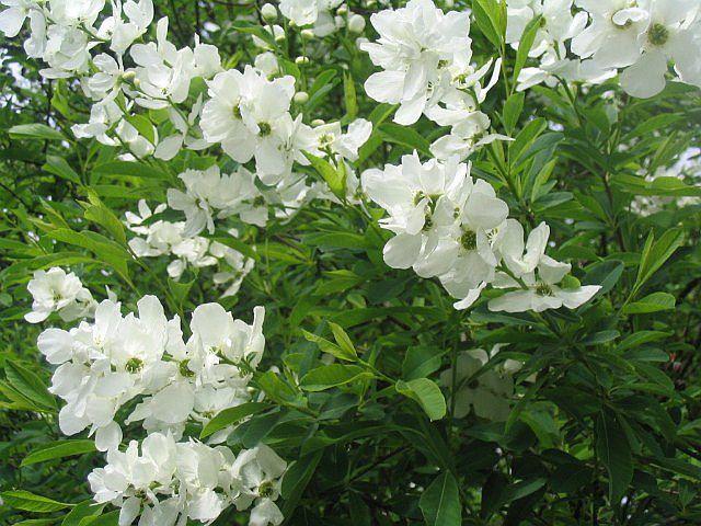 Садовые цветы и кустарники 85