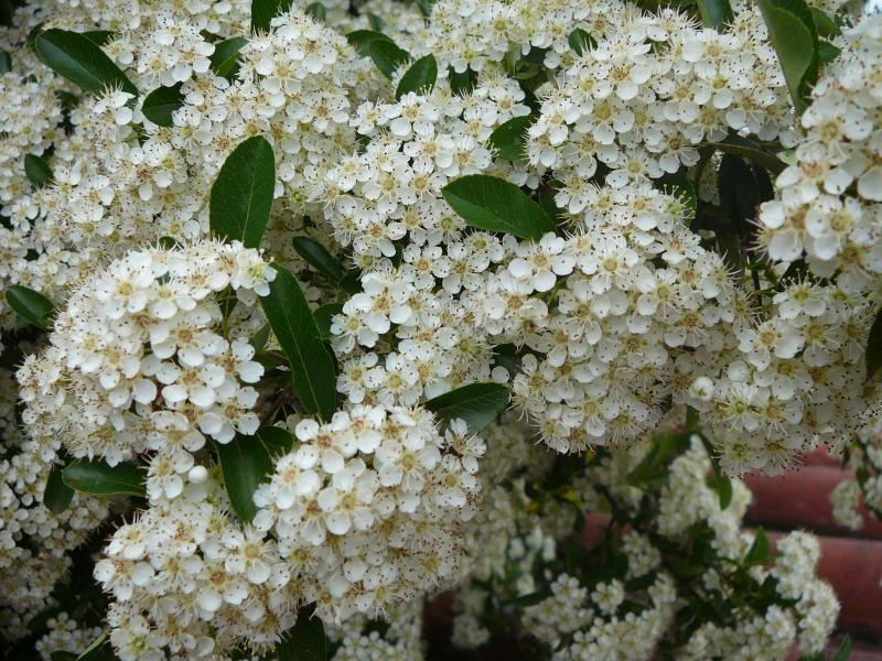 Описание и фото декоративных кустарников с белыми цветами для вашего сада