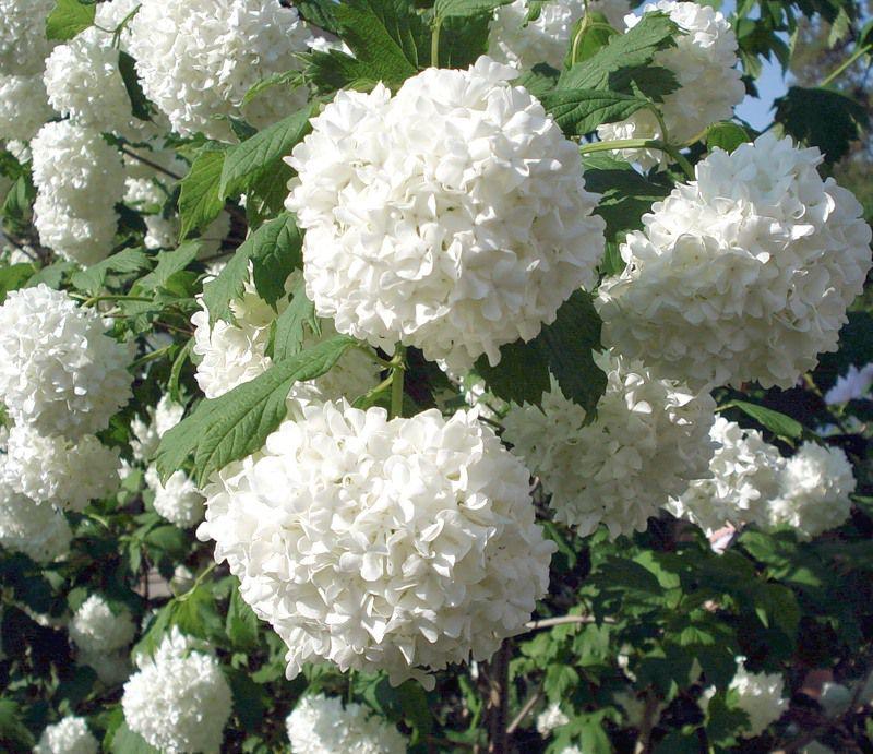 Белые садовые цветы каталог фото
