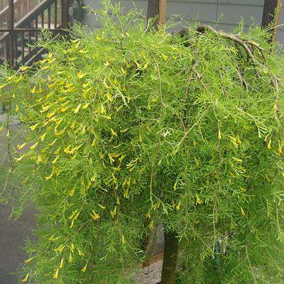 Желтые садовые цветы карагана