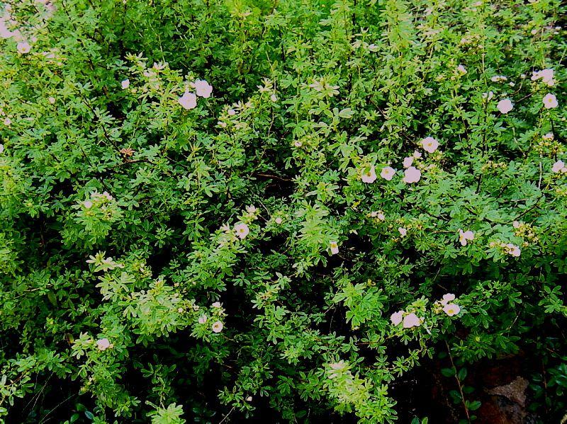 Курильский чай агротехника выращивания 30