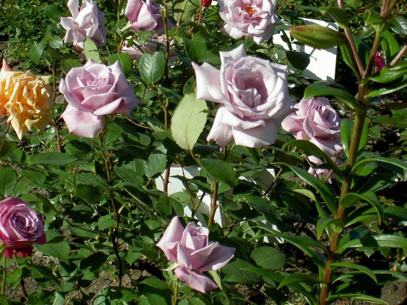 Роза чайно гибридная уход и выращивание