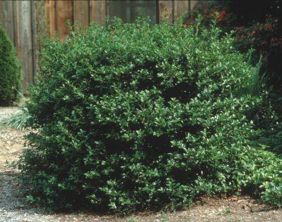 фото садовые декоративные деревья и кустарники Падуб темно-зеленые, Ilex x meservae.