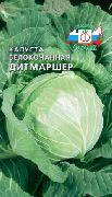 сорта белокочанной капусты раннеспелые