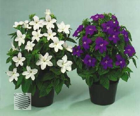Белые садовые цветы броваллия фото