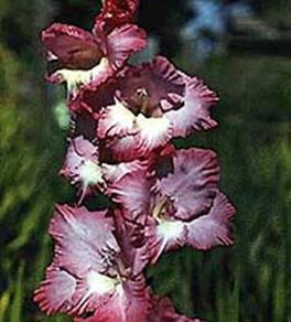 Бордовые садовые цветы гладиолус