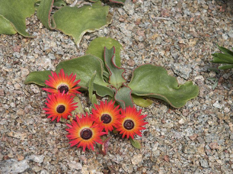 Ливингстона выращивание из семян 76