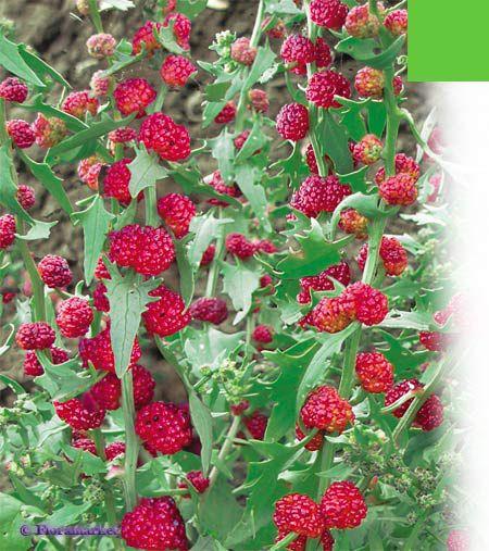 садовые цветы Шпинат земляничный (Марь многолистная) красные фото, выращивание, посадка и уход, купить Chenopodium foliosum семе