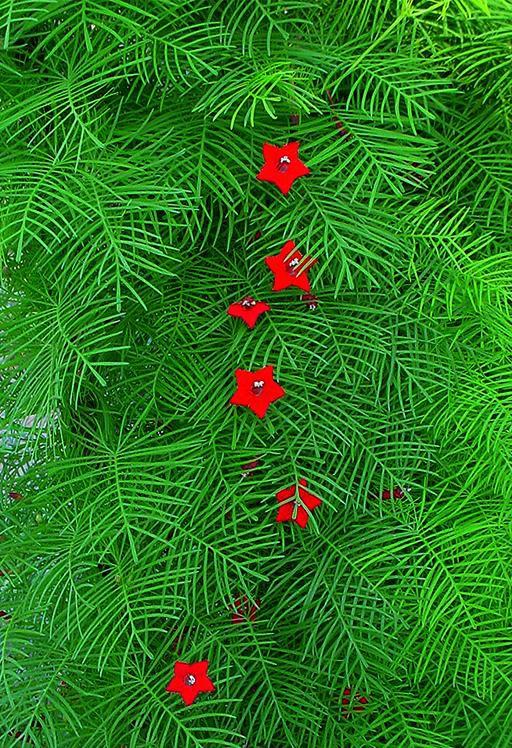 Красные садовые цветы квамоклит