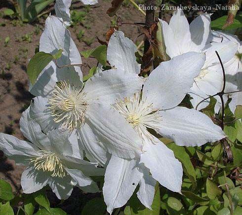 декоративные садовые цветы белые Клематис фото, описание, выращивание и посадка, уход и полив.