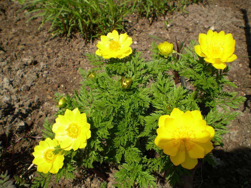 Адонис летний выращивание у