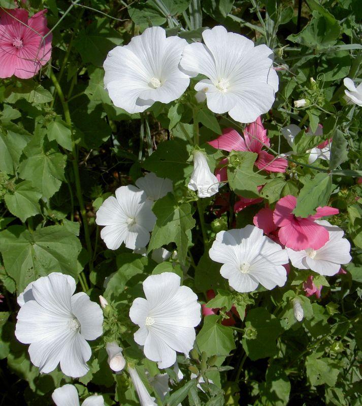 Лаватера цветок и описание 163