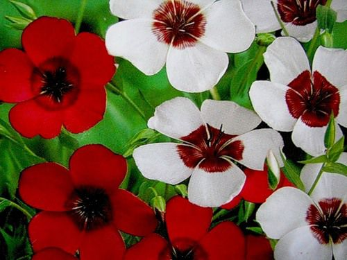 лен крупноцветковый посадка фото
