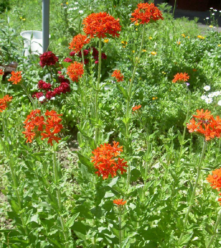 Лихнис цветов в саду