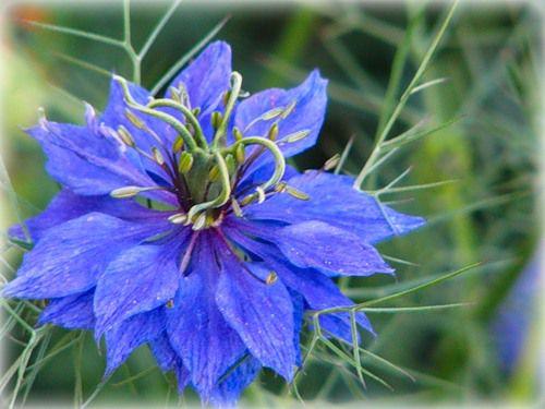 Садовый синий цветок