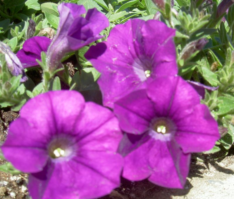 Цветы петунья купить в вао, веточки для букетов