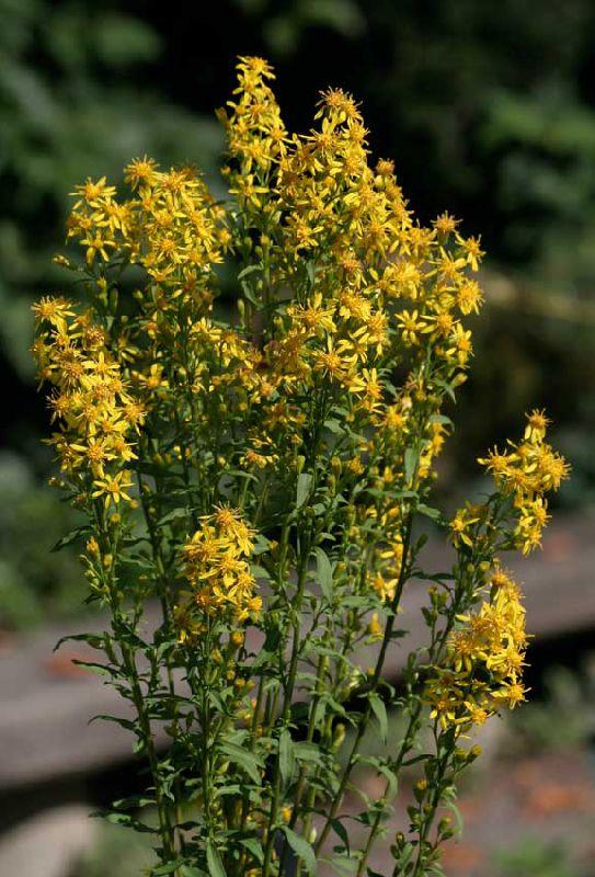 Садовые цветы солидаго золотая розга