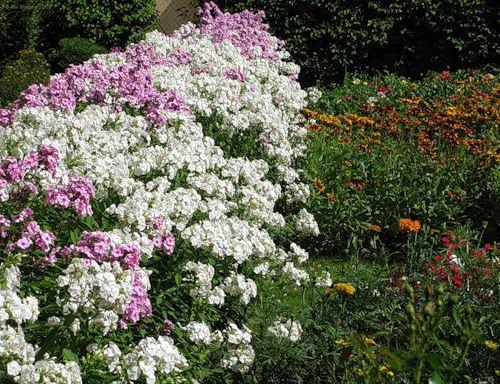 Белые садовые цветы флокс друммонда