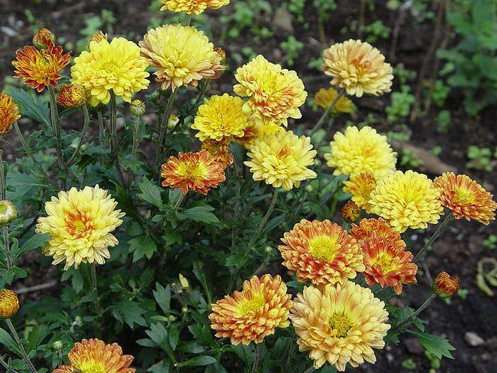 Садовые цветы хризантема корейская