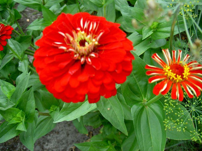 виды садовый цветов с