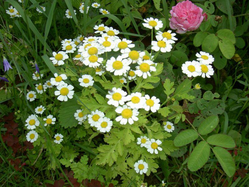 Цветы матрикария купить