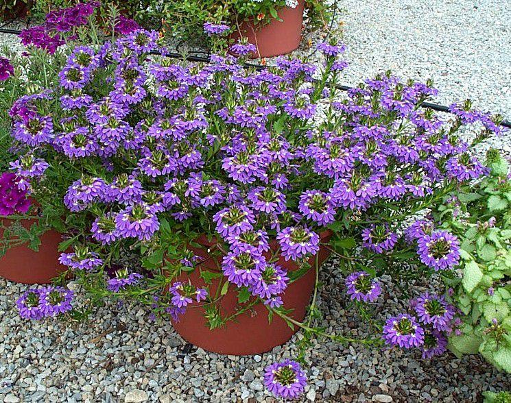 Сиреневые садовые цветы сцевола фото