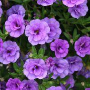 сиреневые садовые цветы Калибрахоа фото, выращивание, посадка и уход, купить Calibrachoa семена