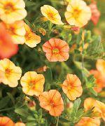 оранжевые садовые цветы Калибрахоа фото, выращивание, посадка и уход, купить Calibrachoa семена
