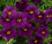 фиолетовые садовые цветы Калибрахоа фото, выращивание, посадка и уход, купить Calibrachoa семена