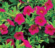 розовые садовые цветы Калибрахоа фото, выращивание, посадка и уход, купить Calibrachoa семена
