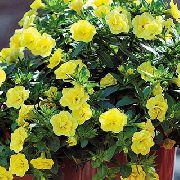 желтые садовые цветы Калибрахоа фото, выращивание, посадка и уход, купить Calibrachoa семена