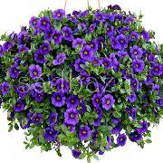 синие садовые цветы Калибрахоа фото, выращивание, посадка и уход, купить Calibrachoa семена