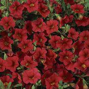 красные садовые цветы Калибрахоа фото, выращивание, посадка и уход, купить Calibrachoa семена