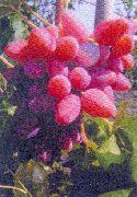 фотографии винограда сорта Олимпик. нажмите на фото для увеличения.