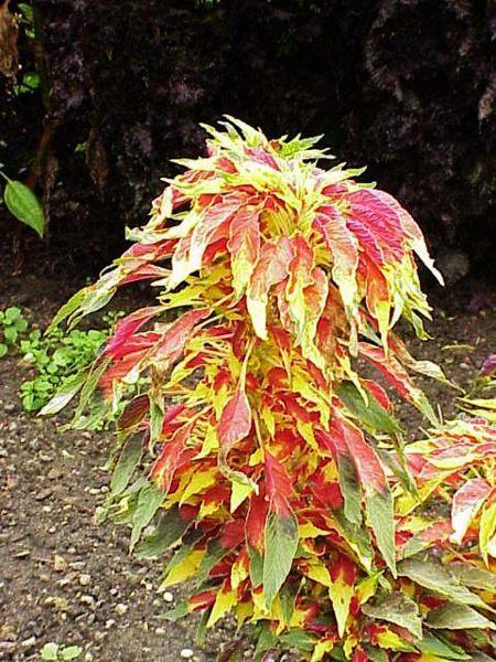 садовые растения Амарант трехцветный декоративно ...: http://5sadov.ru/grass-152-amaranthus-tricolor.htm