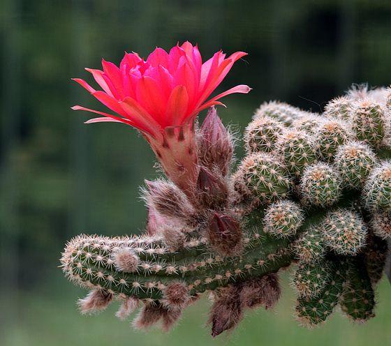 домашний цветок каланхоэ