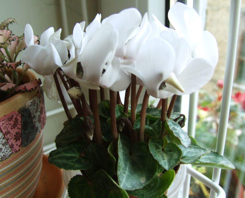Цветок домашний цикламен уход в домашних условиях