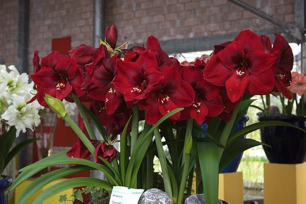 Гиппеаструм цветок уход в домашних условиях