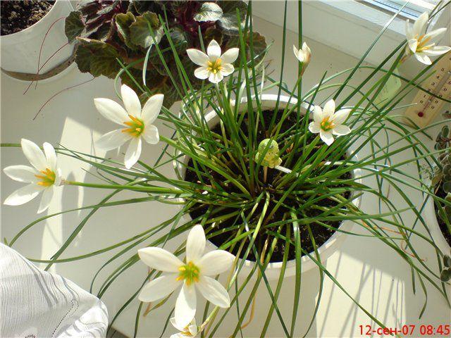 цветки домашние