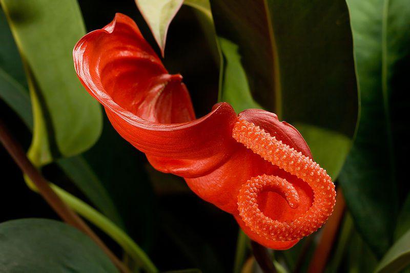 Комнатный цветок красный антуриум фото