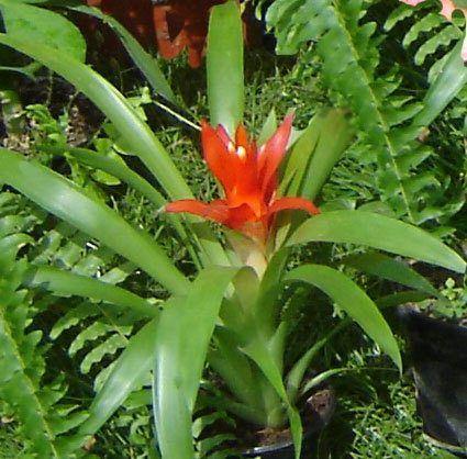 Красные комнатные цветы фото