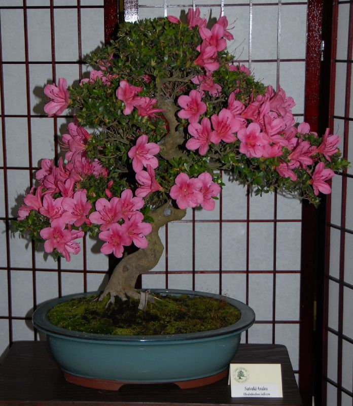 Как ухаживать за rhododendron в домашних условиях