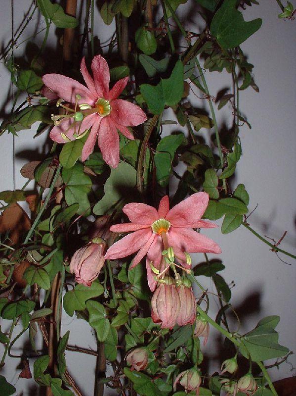Почему не цветет пассифлора в домашних условиях 983