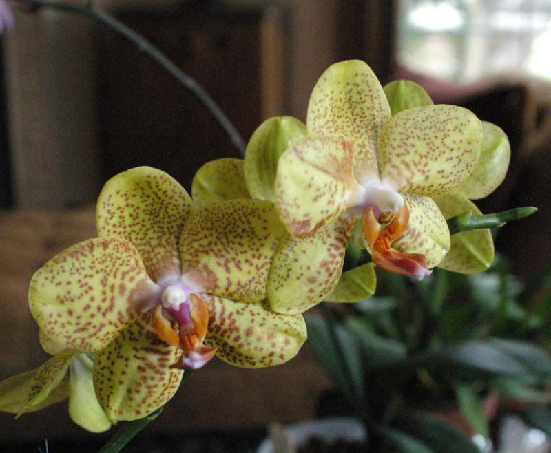 Цветы домашние фаленопсис