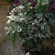Домашние растения зебрина ампельные
