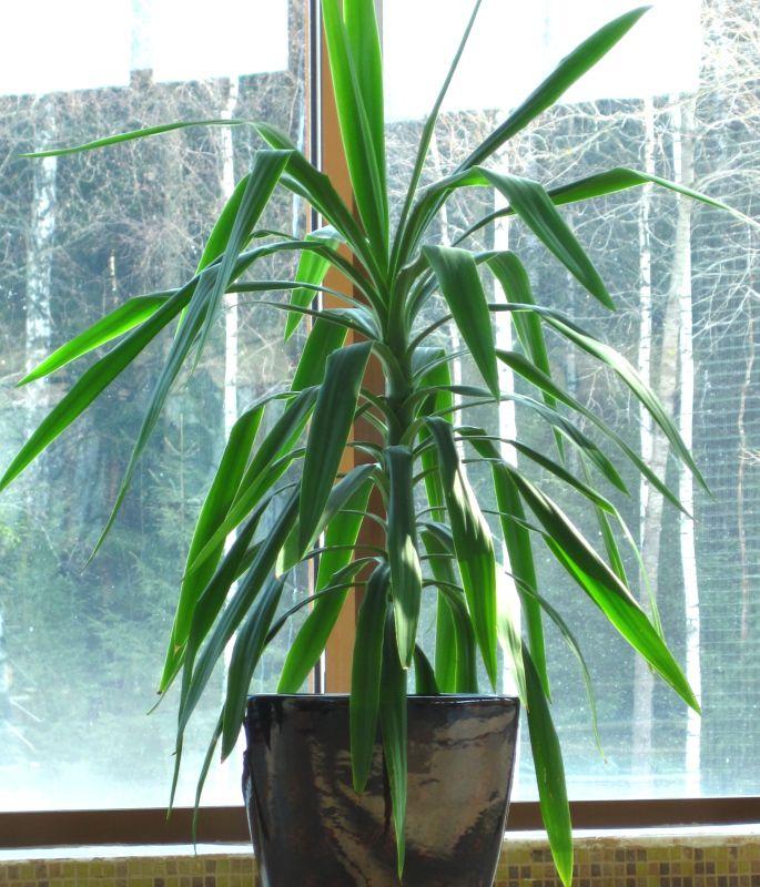 домашние растения Драцена травянистые фото, выращивание ...: http://5sadov.ru/roomgrass-33-dracaena.htm